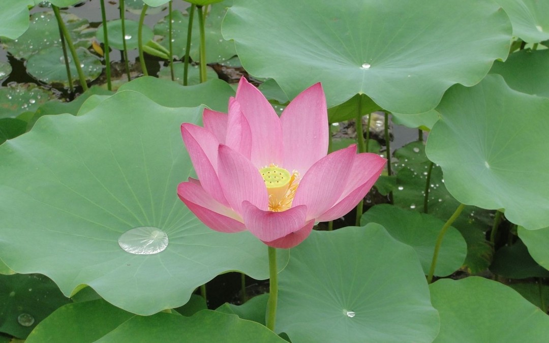 What makes the lotus flower so special ?